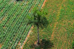 Forest area invasion, The only tree remaining, Destruction of natural resources,global warming,Rural agriculture,Tapioca farm,. Sugarcane farm,aerial photograph stock image