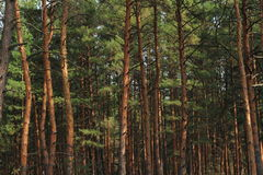 Forest as a background Royalty Free Stock Photography