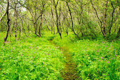 Forest asbyrgi iceland Royalty Free Stock Photo