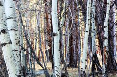 A Forest of Aspen Trees Royalty Free Stock Photos