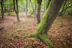 Forest in atumn, tree with moss. Royalty Free Stock Photos