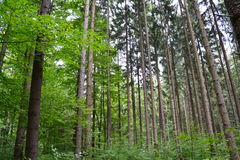 Forest in August. Tall and straight trees in the forest Stock Images