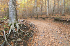 Forest in autumn. Autumnal beech trees in the valley of Ordesa, Pyrenees, Spain Stock Photography