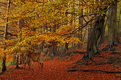 The Forest in Autumn. Fallow Deer in a woodland clearing during Autumn Stock Images
