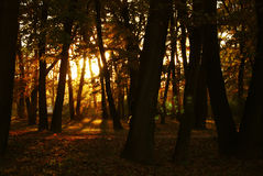 Forest in autumn. Late afternoon with sunset Royalty Free Stock Photos