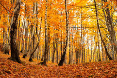 Forest in autumn. Yellow forest in late autumn Royalty Free Stock Photos