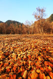 Forest autumn. Mutual Beishan National Forest Geopark is located in the south eastern end of the Qilian Mountains, with an average altitude of 1,800 meters, the Stock Photos