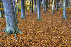 Forest in autumn. Royalty Free Stock Images
