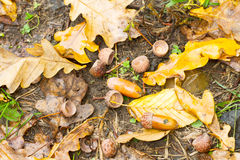 Forest autumn background with acorns Royalty Free Stock Image