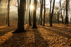 Forest in autumn with backlit Stock Photo