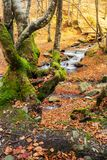 Forest in autumn. beautiful sunny weather. Mossy tree in front of a Shypot brook in the distance royalty free stock image