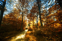 trees in forest in autumn Royalty Free Stock Photos