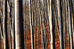 Forest. Autumn beech forest in the sun Stock Images