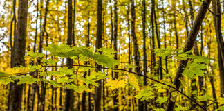 Forest in Autumn. Bright yellow maple branch in the forest in autumn Royalty Free Stock Image