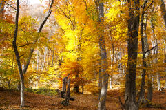 Forest  in autumn colors. Crimea. Beautiful forest in autumn colors Royalty Free Stock Photos