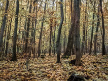 Forest in autumn colors Royalty Free Stock Photography