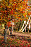 Forest in autumn colors Royalty Free Stock Image