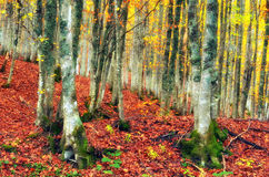 Forest in autumn Royalty Free Stock Image