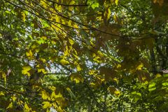 Forest in autumn - colourful leaves. This image shows a view of some branches full of green and yellow leaves royalty free stock photography