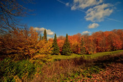 Colorful Canadian autumn forest landscape. An autumn landscape of  colorful red and  yellow leaves, green coniferous trees, and  a deep blue sky on a sunny day Royalty Free Stock Image