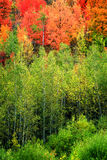 Forest of Autumn Fall Trees Birch Maple Stock Image