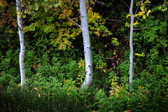 Forest of Autumn Fall Trees Birch Maple Royalty Free Stock Photo