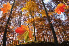 Forest in autumn and falling leaves. Colorful leaves fall from trees in the forest Stock Image