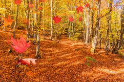 Forest in autumn falling leaves path for background. Octomber stock photo
