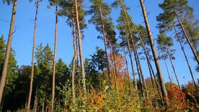 Forest in autumn stock footage
