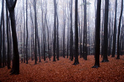 Forest in autumn with frost and fog Stock Photos