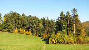 Forest in autumn. Landscape with forest of pines and some colorful trees in autumn Royalty Free Stock Images