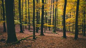 Forest with Autumn Leaves Royalty Free Stock Image