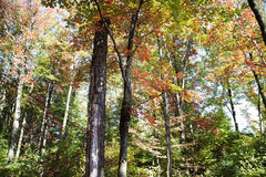 Forest in autumn. Maple forest with colorful leaves in autumn Royalty Free Stock Photography