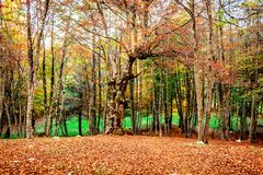 Forest in Autumn in Montenegro. Landscape of the Forest in Autumn in Montenegro Stock Photo