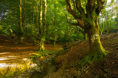 Forest in Autumn Stock Images