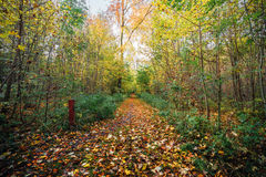 Forest at autumn with a nature trail. Covered with autumn leaves in autumn colors in the fall in a scandinavian forest Royalty Free Stock Image
