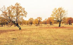 Forest of autumn oaks stock images
