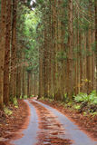 Forest autumn path. Path in an autumn fir trees forest-interesting perspective Royalty Free Stock Photos