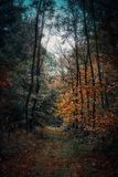 Forest in autumn. Path in Nederpeel, Limburg Stock Photography