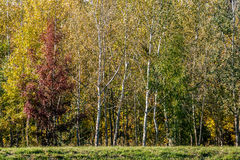 Forest in autumn with red, yellow and green leaves Stock Photos