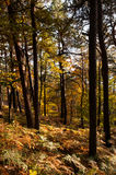 Forest and autumn Royalty Free Stock Photography