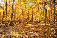 Forest in autumn season. Calm atmosphere in the forest at autumn season. Golden leafs in the trees Stock Images