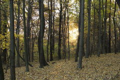 Forest in the autumn. Autumn setting: Yellowing leaves on the trees, brown leaves on the ground stock photography