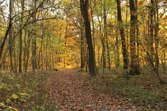 Forest in the autumn. Autumn setting: Yellowing leaves on the trees, brown leaves on the ground royalty free stock photography