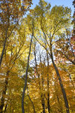 Forest in autumn splendor. Royalty Free Stock Image