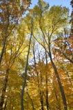Forest in autumn splendor. Royalty Free Stock Image