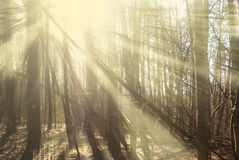 Forest in autumn sunshine. Sunbeams between the trees in wood Stock Photography