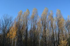Forest in autumn. Tall trees with golden leaves on the treetops on the background of blue sky.  royalty free stock images