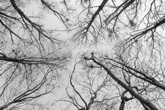The tops of trees without foliage. Black and white photo, bottom view. royalty free stock photo