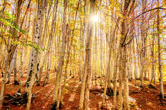 The Forest in Autumn. Trees in the Forest in Autumn Royalty Free Stock Photos